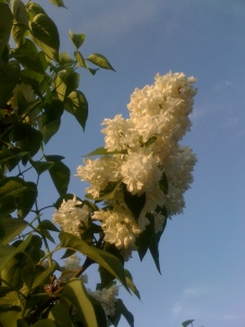 Liliac alb.
